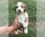 Puppy 6 Brittany