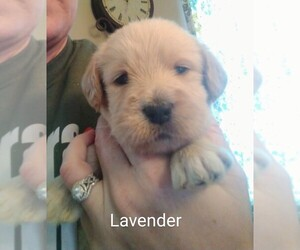 Labradoodle Puppy for sale in ATWATER, OH, USA