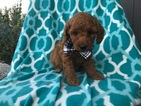 Poodle (Miniature) Puppy For Sale in PEACH BOTTOM, PA,