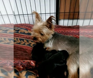 Yorkshire Terrier Puppy for sale in FRESNO, CA, USA