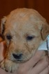 Mini Labradoodle Puppies F1B
