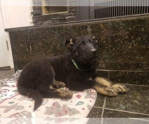 German Shepherd Dog Dog for Adoption in PENROSE, Colorado USA