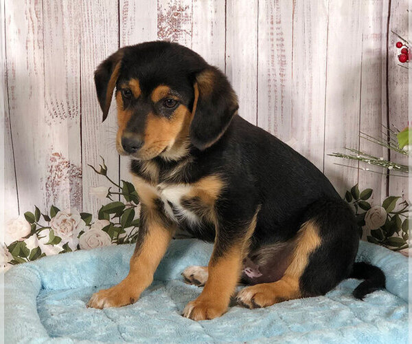 View Ad: Beagle-Norwegian Elkhound Mix Puppy for Sale near In Japan
