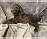 Puppy 3 English Setter-Poodle (Standard) Mix