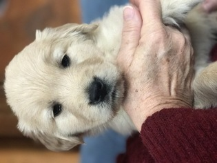 Golden Retriever Puppy For Sale in NORWALK, IA, USA