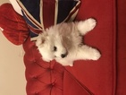 American Eskimo Dog Puppy For Sale in MOUNT VERNON, MO, USA