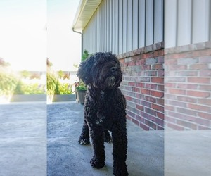 Portuguese Water Dog Puppy for Sale in LAS VEGAS, Nevada USA
