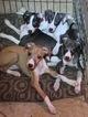 Italian Greyhound Puppies Pure Bred