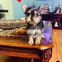 Yorkshire Terrier Puppy For Sale in SAN JOSE, CA
