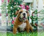 Puppy 8 English Bulldog