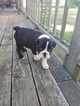 English Bulldogge Puppy For Sale in CLIO, MI, USA
