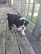 English Bulldog AKC  Black Seal