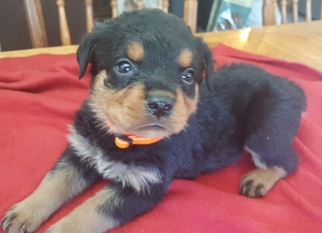 Rottweiler Puppy For Sale in WINDSOR, ME