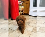 Miniature Red Poodle