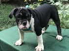 Bulldog Puppy For Sale in HALTOM CITY, TX, USA