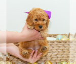 Puppy 3 Goldendoodle (Miniature)