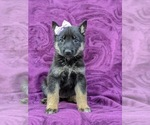 Small #1 German Shepherd Dog