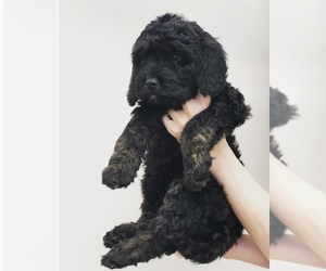 Cavapoo-Labradoodle Mix Puppy for Sale in BURTON, Ohio USA