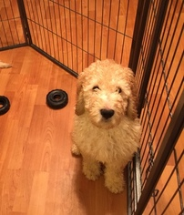 Double Doodle Puppy for sale in MARYSVILLE, WA, USA