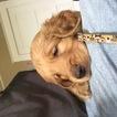 Golden Retriever Puppy For Sale in HAYFIELD, MN
