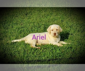 Labrador Retriever Dog for Adoption in ZEBULON, North Carolina USA