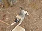 Anatolian Shepherd Puppy For Sale in STUART, VA