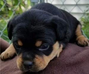 Carlin Pinscher Puppy for Sale in COBB, Wisconsin USA