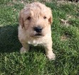 Labradoodle Puppy For Sale in TUSCOLA, Illinois,