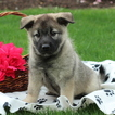 Norwegian Elkhound Puppy For Sale in GAP, PA, USA