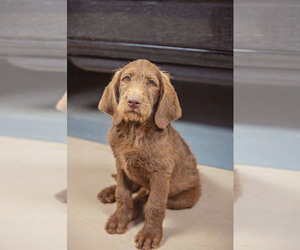 Labradoodle Puppy for Sale in JOHNSON, Kansas USA