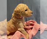 Puppy 11 Poodle (Standard)
