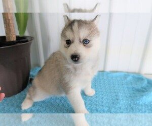 Siberian Husky Puppy for sale in GR, MI, USA