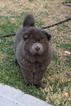 Blue Male Chow Chow puppy