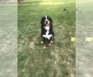 Bernese Mountain Dog Puppy for Sale in EAGLE ROCK, Idaho USA