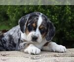 Small #2 Australian Shepherd-Beagle Mix