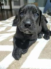 Great Dane Puppy For Sale in STATEN ISLAND, NY, USA