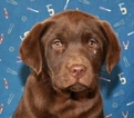 Labrador Retriever Puppy For Sale in SHAWNEE, OK, USA