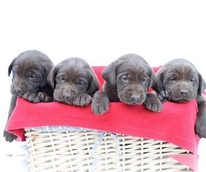 Labrador Retriever Puppy for Sale in PIEDMONT, South Carolina USA