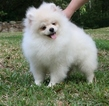 Pomeranian Puppy For Sale in MILTON, Florida,