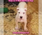 Small Photo #124 Dogo Argentino Puppy For Sale in PINEVILLE, MO, USA