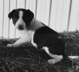 Border Collie Puppy For Sale in NEW BOSTON, MO