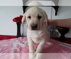 Labrador Retriever Puppy for sale in CHICAGO, IL, USA