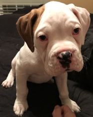 Boxer Puppy For Sale in SAINT AUGUSTINE, FL, USA