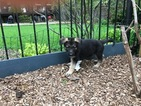 German Shepherd Dog Puppy For Sale in CHICAGO, IL