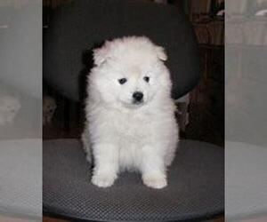American Eskimo Dog Dog for Adoption in INDIANAPOLIS, Indiana USA