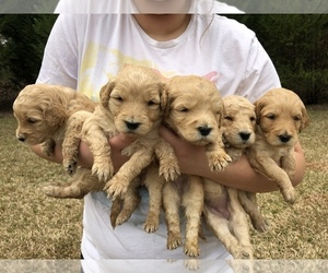 Goldendoodle-Poodle (Standard) Mix Puppy for Sale in DOTHAN, Alabama USA