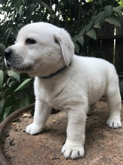 Labrador Retriever Puppy For Sale in LIVE OAK, CA, USA