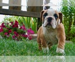 Puppy 5 English Bulldog