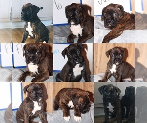 Boxer Puppy for Sale in MIDLAND, Ohio USA