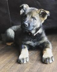 German Shepherd Dog Puppy For Sale in BIRMINGHAM, PA, USA